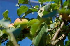 Omogna gröna Apple som växer på filial Royaltyfri Bild
