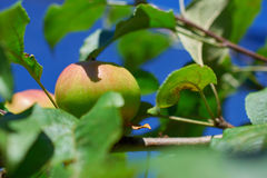 Omogna gröna Apple som växer på filial Royaltyfria Foton