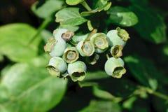 Omogna gröna blåbär som växer på Bush i bygd royaltyfri foto
