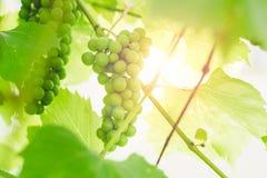 Omogna gröna druvor på en filial av en vinranka i en trädgård på en solnedgångbakgrund arkivbild