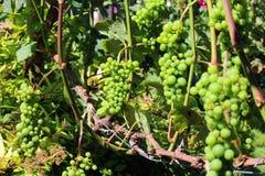 Omogna gröna druvor på en vinranka Royaltyfri Foto