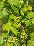 Omogna gröna druvor på vinranka Arkivbilder