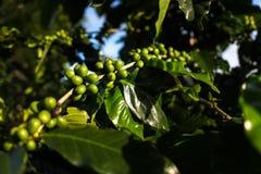 Omogna gröna kaffekörsbär ont som han förgrena sig, som är källan av kaffebönor royaltyfri bild