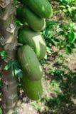 Omogna gröna papayasfrukter som hänger på trädet royaltyfri foto
