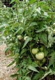 Omogna gröna tomater på sunda frodiga växter som stöttas av trådburar Royaltyfri Foto