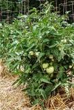 Omogna gröna tomater på sunda frodiga växter som stöttas av trådburar Arkivfoto
