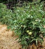 Omogna gröna tomater på sunda frodiga växter som stöttas av trådburar Fotografering för Bildbyråer