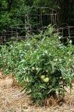 Omogna gröna tomater på sunda frodiga växter som stöttas av trådburar Royaltyfri Fotografi