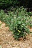 Omogna gröna tomater på sunda frodiga växter som stöttas av trådburar Royaltyfria Bilder
