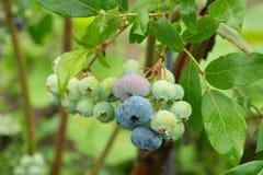 Omogna och mogna mogna blåbär för grupp på den gröna Bush Fotografering för Bildbyråer