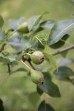 Omogna päron på träd Royaltyfri Fotografi
