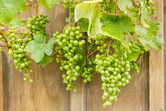Omogna Sauvignon Blanc druvor på vinranka royaltyfri fotografi