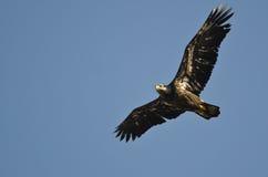 Omogna skalliga Eagle Flying i en blå himmel Arkivbild