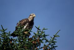Omogna skalliga Eagle i Alaska Arkivbild