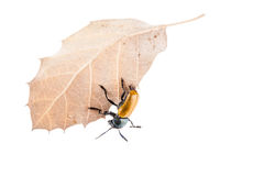Omophlus on a leaf Royalty Free Stock Photos