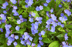 Omphalodes cappadocica Stock Photography