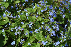 Omphalodes verna flowers Royalty Free Stock Image