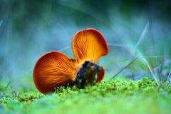 Omphalotus olearius mushroom Stock Photos