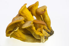 Omphalotus olearius Stock Images