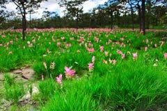 Område av det rosa Siam tulpanfältet Arkivbild