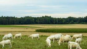 Område för ufoskördcirkel, i vetefält Arkivbild