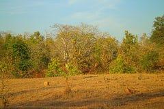 Område runt om Nagpur, Indien Torr utlöpare Royaltyfri Foto