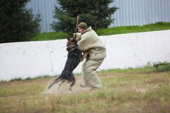 Omsk, Russia - August 22, 2014: Canine Center Training Stock Images