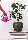 Omsorg av houseplants: att bevattna citronen i en kruka från bevattna-kan Arkivfoton