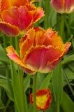 Omzoomde Tulipa-Zonsondergang Miami Royalty-vrije Stock Afbeelding