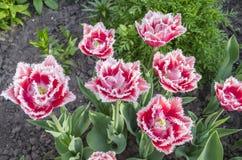 Omzoomde tulp Queensland royalty-vrije stock afbeeldingen