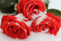 On A Winter Day Lying On The Snow Snowy Beautiful Red Roses. Stock Image