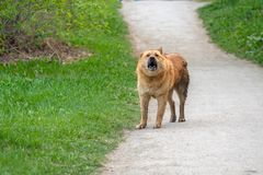 Free On The Path Of Asphalt Is A Dog And Barking Around The Grass Royalty Free Stock Photography - 158546467