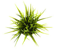 Free On Top Decorative Grass In Flowerpot Isolated Royalty Free Stock Photos - 77379398