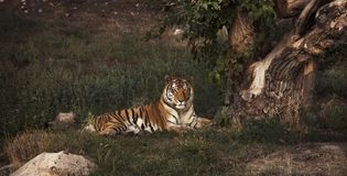 A Tiger Lying near the old tree, resting royalty free stock photo