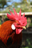 Onagadori rooster. Onagodori rooster in the morning Royalty Free Stock Images