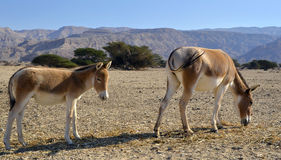 The onager Stock Photography