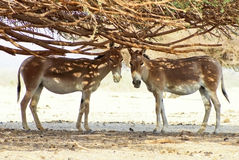 The Onager. S in Israeli Natural Reservation (Hai Bar Stock Photo