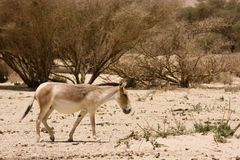 Onager Stock Photo
