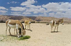 Onager ass at the Negev desert, Israel Stock Images