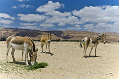 Onager at the Negev desert, Israel Royalty Free Stock Photos