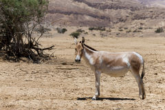Onager is a brown Asian wild donkey Equus hemionus Royalty Free Stock Image