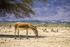 Onager del asno salvaje en la reserva de naturaleza, Israel Fotografía de archivo