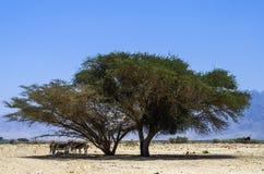 Onager del asno salvaje en la reserva de naturaleza, Israel Imagenes de archivo