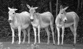 The onager Royalty Free Stock Photos
