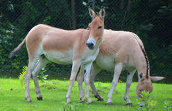 The onager Stock Photos