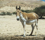 The onager (Equus hemionus) is a brown Asian wild ass Stock Image