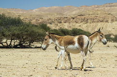 The onager (Equus hemionus) is a brown Asian wild ass Royalty Free Stock Photos