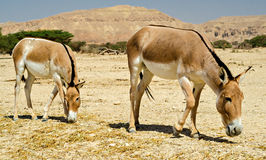 The onager (Equus hemionus) Stock Photography