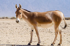 The onager (Equus hemionus) Stock Image