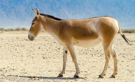 The onager (Equus hemionus) Royalty Free Stock Image